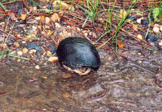 Mud turtle in a Patuxent River marsh Picture