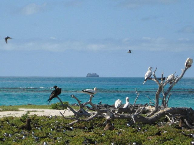 Boobies and frigate birds perched on one of the few remnants of a tree in the Northwest Hawaiian Islands Picture