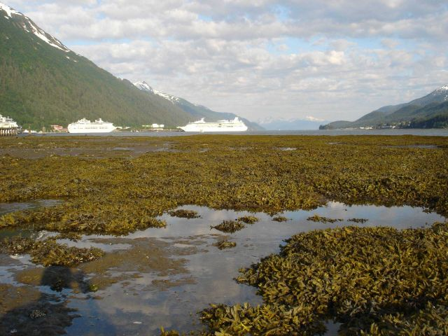 Looking over an algae covered tidal flat at low tide towards the Juneau cruise ship docks. Picture