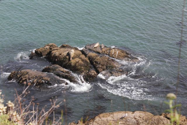 Harbor seals hauled out on a rock below Fort Ross. Picture
