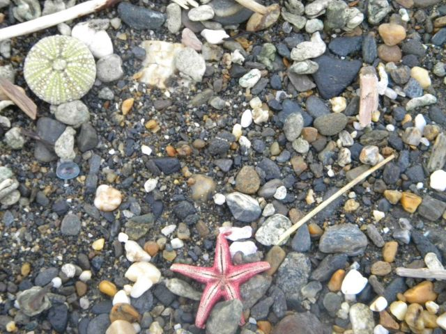 Sea urchin shell and dead starfish amidst cobbles on the Nome beach. Picture