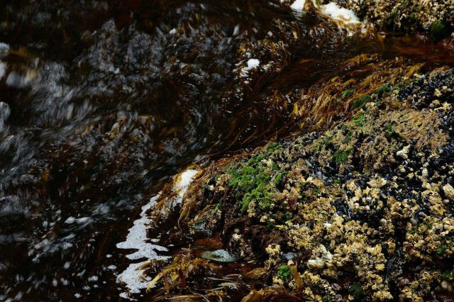 Mussels, barnacles, snails, and algae are seen at low tide in Seldevoe Lagoon. Picture