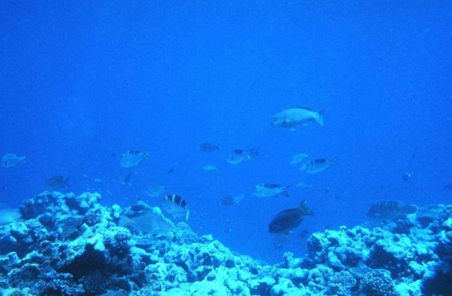 Multiple species visible - an unfished population of tropical reef fishes Predominantly Monotaxis sp., Grandoculis sp., and Scaridae sp Sparid, and mi Picture