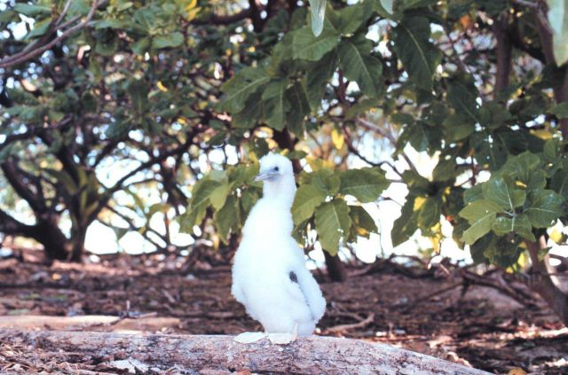 A baby booby - only its mother would love that face. Picture