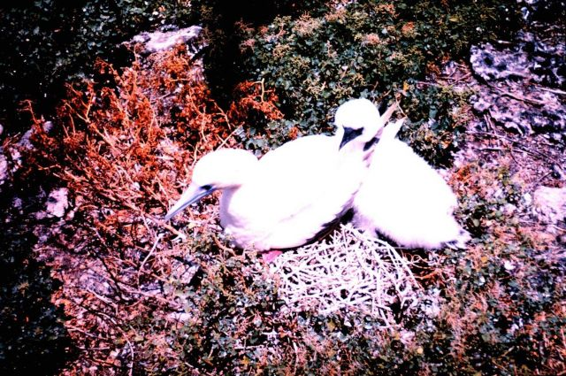 A species of booby nesting - adult with chick Picture