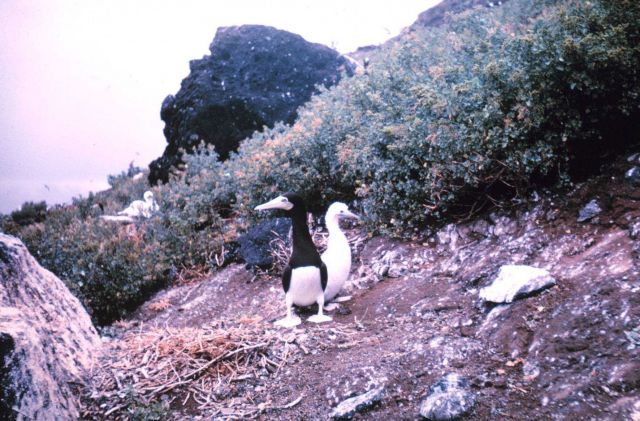 Adult booby and chick. Picture