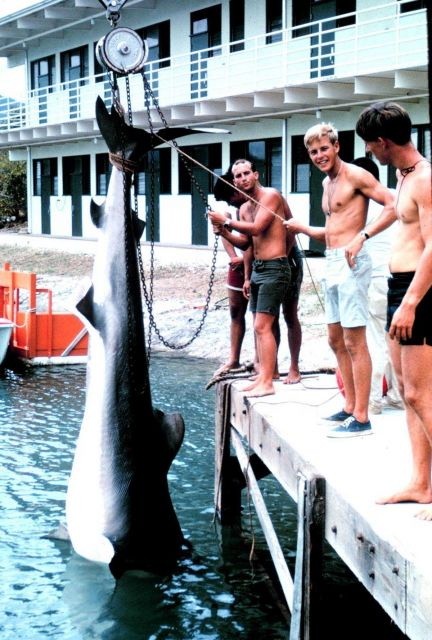 Bringing up 14-foot, 1200 pound tiger shark for weighing. Picture