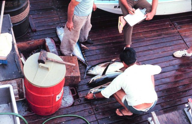 On NOAA Ship TOWNSEND CROMWELL measuring yellow-fin tuna Picture