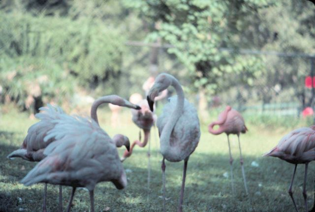 Flamingoes in a park. Picture