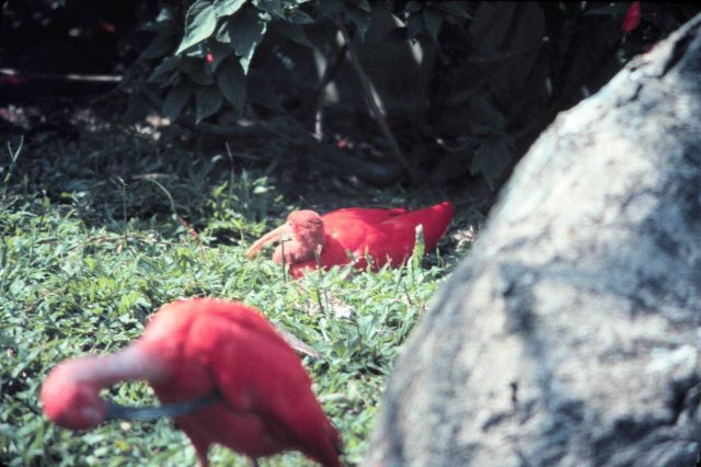 Red ibis in a park. Picture