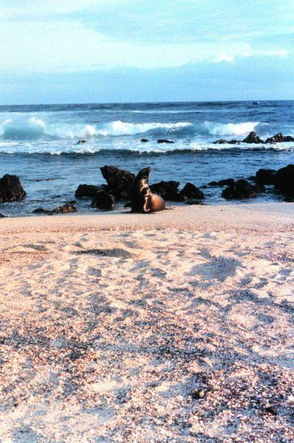 Galapagos sea lions - Zalophus californianus wollebacki. Picture