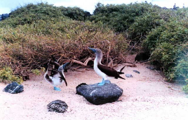 Blue-footed boobies - Sula nebouxii. Picture