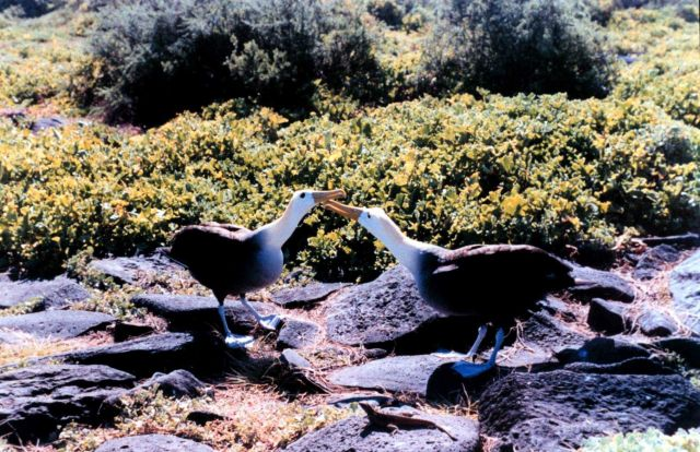 Waved albatross - Diomedea irrorata. Picture