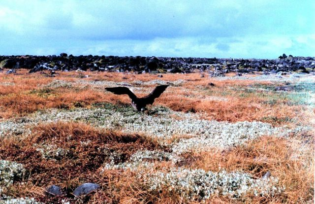 Waved albatross - Diomedea irrorata - taking off. Picture