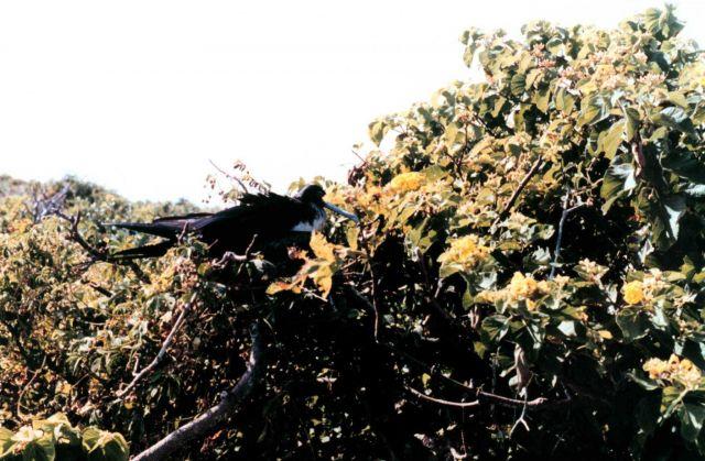 Frigate bird - Fregata magnificens. Picture