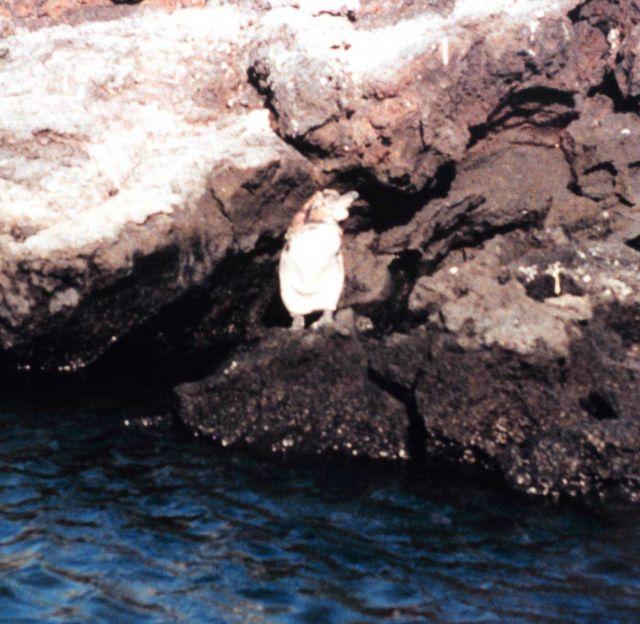 A Galapagos penguin - Spheniscus mendiculus Picture