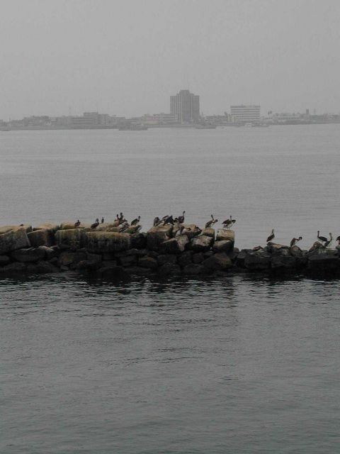 Pelicans line the breakwater at the harbor entrance to Callao, Peru Picture