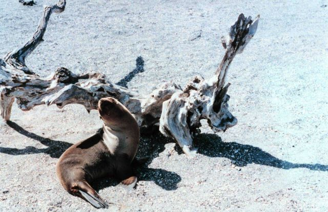 Sealion and driftwood Picture