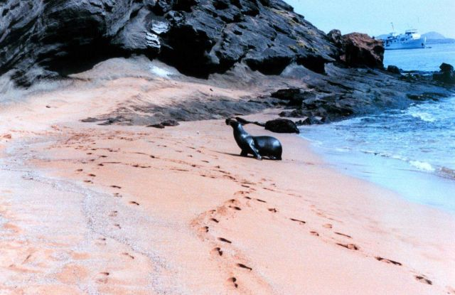 Sealion strolling ashore Picture