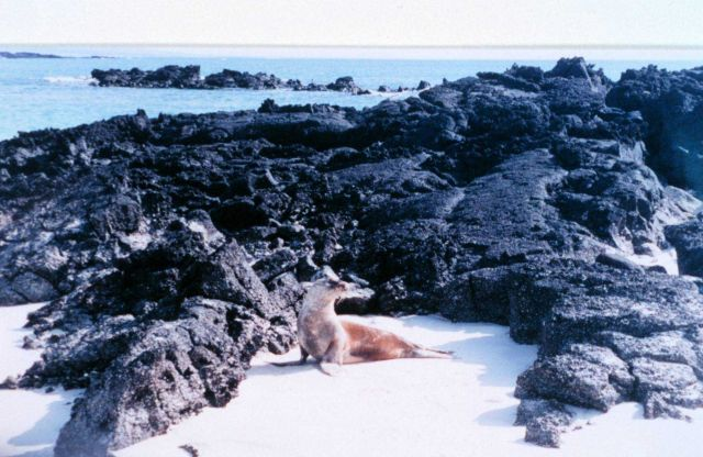 Sea lion on sandy beach with lava rock formations Picture