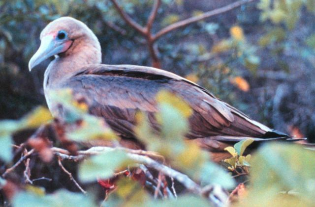 Red-footed booby Picture