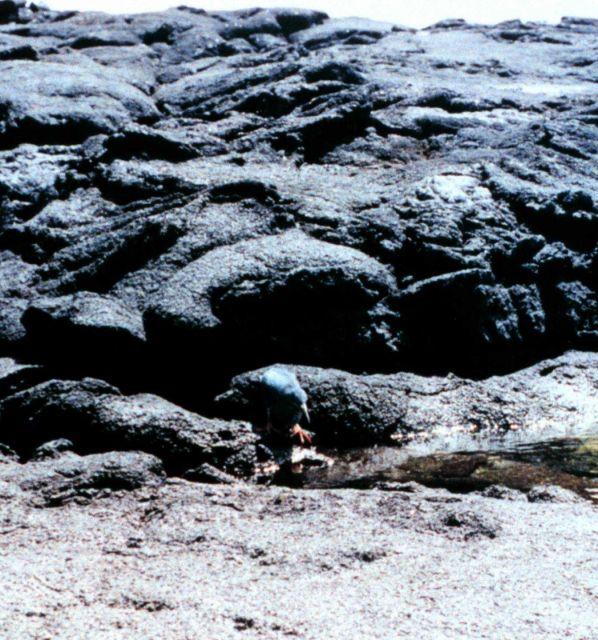 Galapagos heron Picture