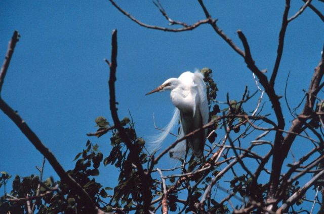 Narragansett Bay National Estuarine Research Reserve Great egret - Casmerodius albus Picture