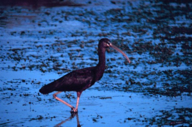 Narragansett Bay National Estuarine Research Reserve Glossy ibis - Plegadis falcinellus Picture