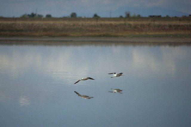 Two water birds flying above a stream - Bear River Wildlife Refuge, Utah Picture