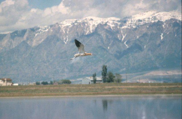 Crane type bird flying - Bear River Wildlife Refuge, Utah Picture