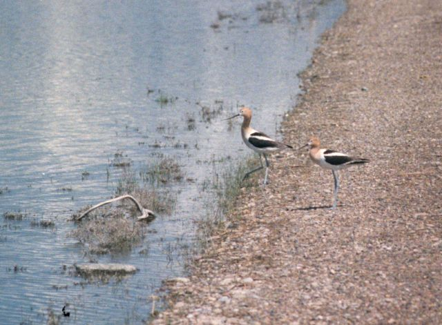 Two wading birds near the water - Bear River Wildlife Refuge, Utah Picture