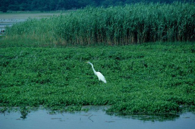Great egret (Ardea alba) Picture