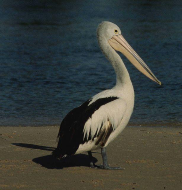 The Australian pelican (Pelecanus conspicillatus) Picture