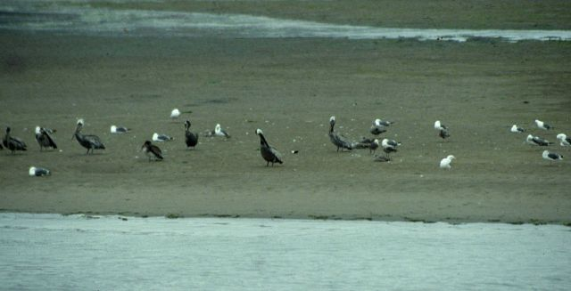 Brown pelicans (Pelecanus occidentalis) and a variety of other sea birds. Picture
