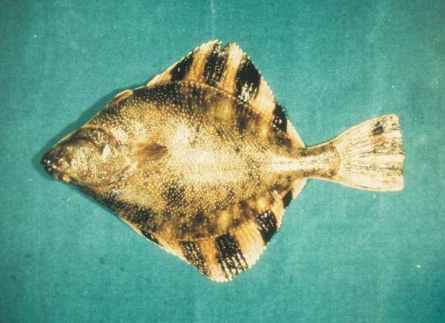 Starry flounder is one of the few flat fish species that spends its whole life in estuary environments. Picture