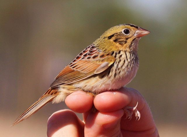 A Henslow's Sparrow caught during a bird survey at the Grand Bay NERR. Picture