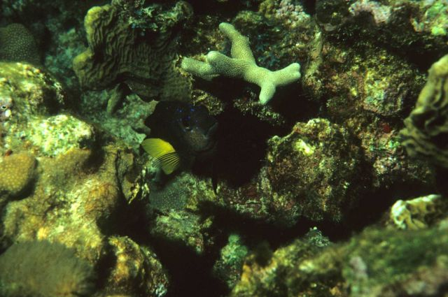 Yellowtail damselfish (Microspathodon chrysurus) Picture