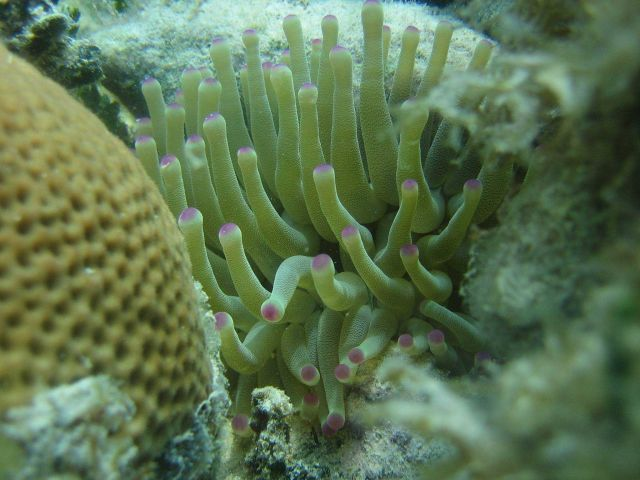 Anemone seen in the coral reef lagoon of Xcalak, Mexico. Picture