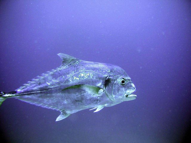 African pompano (Alectis ciliaris) Picture