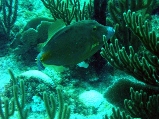 American whitespotted filefish (Cantherhines macrocerus) Picture