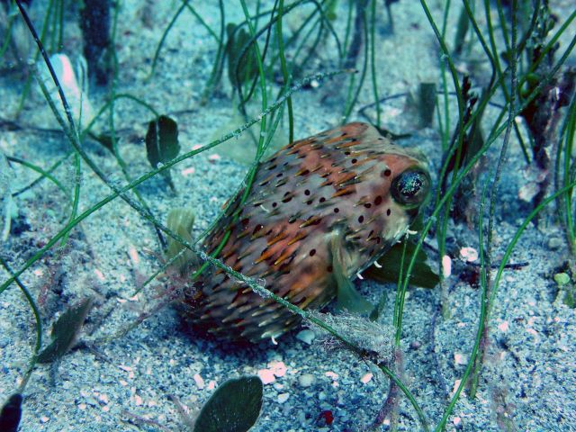 Balloonfish (Diodon holocanthus) Picture