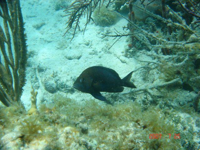 Black hamlet (Hypoplectrus nigricans) Picture