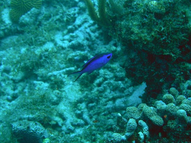 Blue chromis (Chromis cyanea) Picture