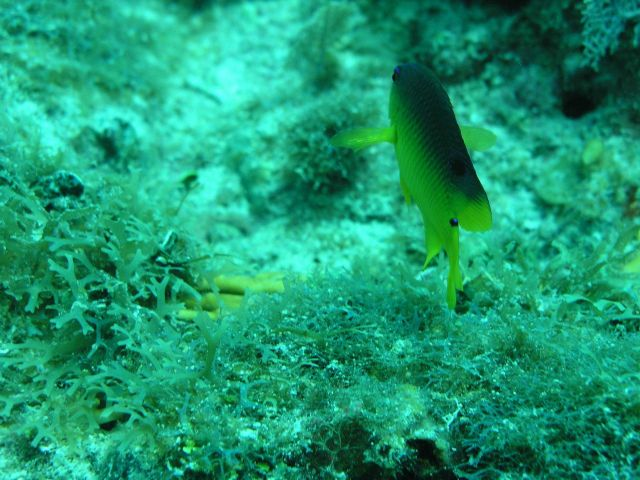 Cocoa damselfish (Stegastes variabilis) Picture