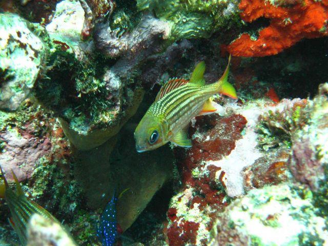 Dusky squirrelfish(Sargocentron vexillarium) Picture