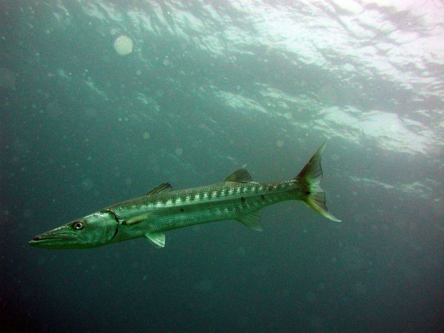 Great barracuda (Sphyraena barracuda) Picture