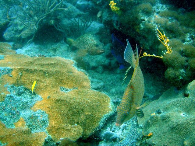 Hogfish (Lachnolaimus maximus) Picture