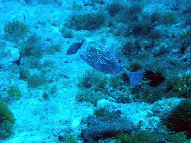 Honeycomb cowfish (Acanthostracion polygonia) Picture