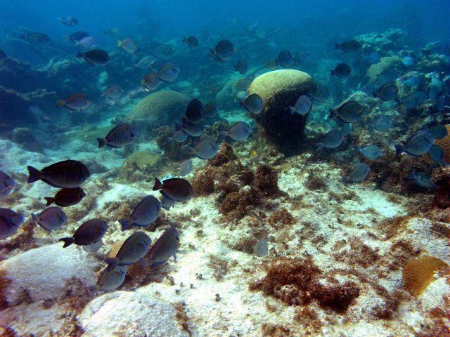 Ocean surgeonfish (Acanthurus bahianus) Picture