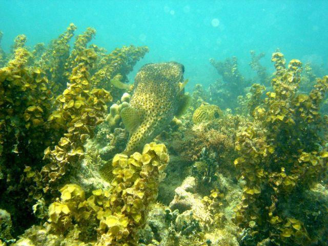 Porcupine fish (Diodon hystrix) Picture